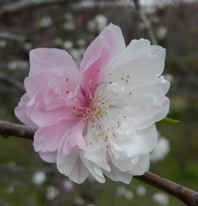 1個体内にピンクの花と白地にピンクの斑の入った花をつける枝垂れ性八重咲きのハナモモ'源平'。