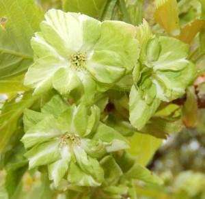 緑の花をつける桜の品種'シンニシキ'。